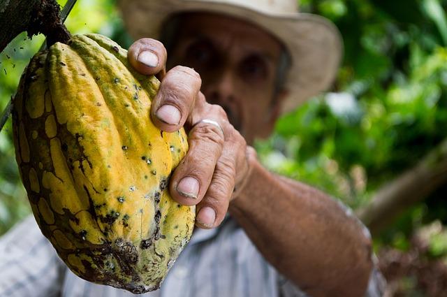 plod kakaovníku
